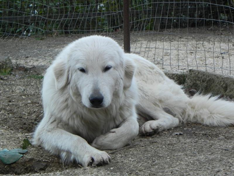 Allevamento del montelarco cane da pastore maremmano for Mangiano il pastone
